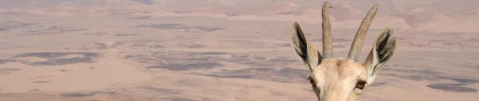 nubischer-steinbock am Rande des Ramon Kraters
